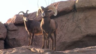Bighorn Sheep — Stock Video