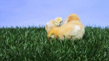 Easter Chicks — Stock Video