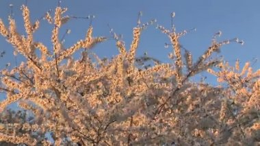 Cherry Blossoms — Stock Video
