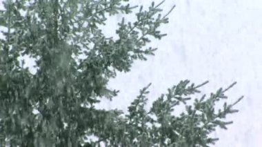 Snow Falling on evergreens — Stock Video