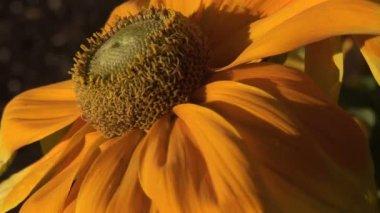 Orange Coneflower in the Breeze — Stock Video