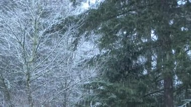 Snow Falling on Pines — Stock Video