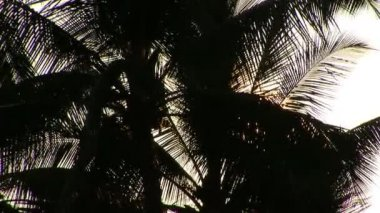 Backlit Palm Tree — Stock Video
