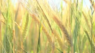 Wheat Stalk — Stock Video