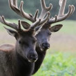 Stock Video: Two Elk