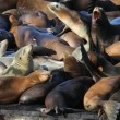 Sea Lion Crowd — Stock Video