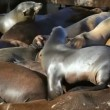 Sea Lion Crowd Surfing — Vídeo de stock