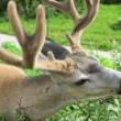 Deer — Stockvideo