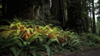 Ferns and Redwoods — Stock Video