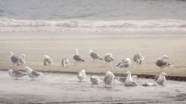 Seagulls on the beach — Stock Video
