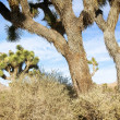 JoshuTree in Mojave Desert — Stock Photo #38423221