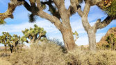 Joshua Tree in Mojave Desert — Stock Photo