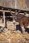 Tethered Donkey — Stock Photo