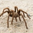 Desert Tarantula — Stock Photo #40260175