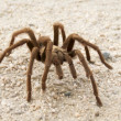 Stock Photo: Desert Tarantula