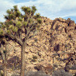 JoshuTree in Mojave Desert — Stock Photo #40260225