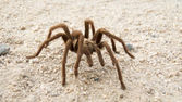 Desert Tarantula — Stock Photo