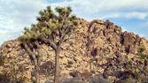 Joshua Tree in Mojave Desert — Stock Photo