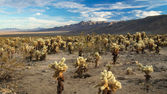 Desert full of Cholla Cactus — Stock Photo