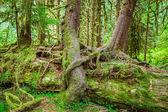 Nurse Tree in Olympic National Park — Stock Photo