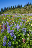 Alpine Wildflowers — Stock Photo