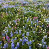 Alpine Wildflowers — Stock Photo