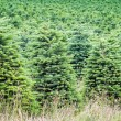 Christmas Tree Farm — Stock Photo #48385661