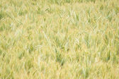 Wheat Field in Oregon — Stock Photo