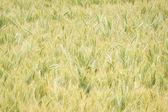 Wheat Field in Oregon — Stock Photo
