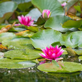 Water Lily — Stock Photo
