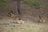 Elk Bedded in Trees — Stock Photo