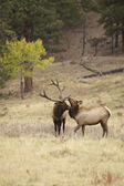 Big Bull Elk and Little Brother — Stock Photo