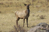 Cow Elk — Stock Photo