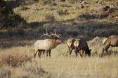 Bugling stier elanden — Stockfoto