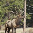 Bull Elk Posing - Stock Photo