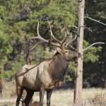 Bull Elk Posing — Stock Photo