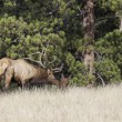 Bull Elk Tending Bedded Cow - Stock Photo