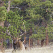 Bull Elk Bedded - Stock Photo