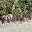 Bull Elk Bedded With Cows - Stock Photo