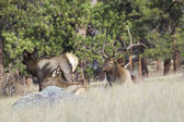Bull Elk Bedded With Cows — Stock Photo