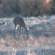 whitetail deer buck — Stock Video