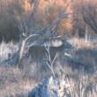 Stock Video: Whitetail Deer Buck Feeding