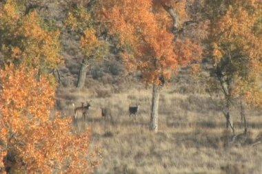 白尾鹿鹿块 — 图库视频影像
