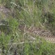 Bull Snake in Grass - Stock Photo
