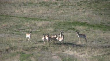 Pronghorn antilop sürüsü — Stok video