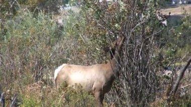 Krávy elk krmení — Stock video