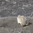 Stock Video: Prairie Dog at Burrow