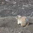 Prairie Dog at Burrow — Stock Video