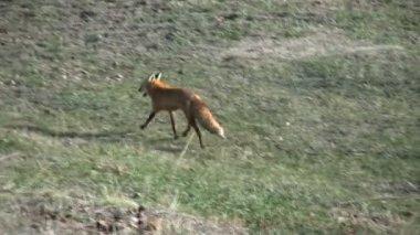 Red Fox — Стоковое видео