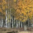 Aspen Grove in Fall - Stock Photo